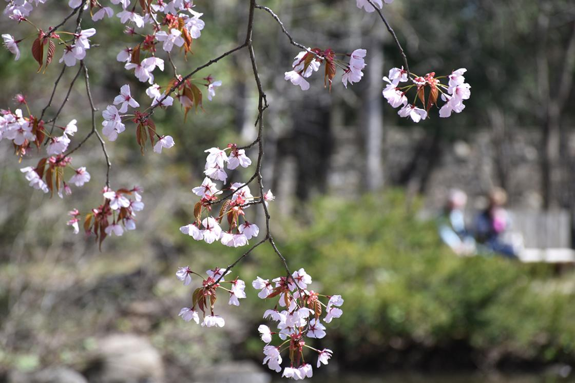 Closeup photograph of a Japanese Cherry Tree in the Japanese Garden at Cranbrook House & Gardens, April 2019.